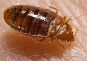 bed-bugs-barnes
