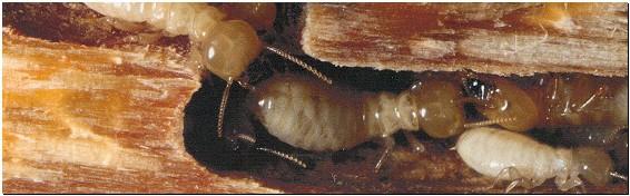 Termite Control Johnson City, TN - Barnes Exterminating